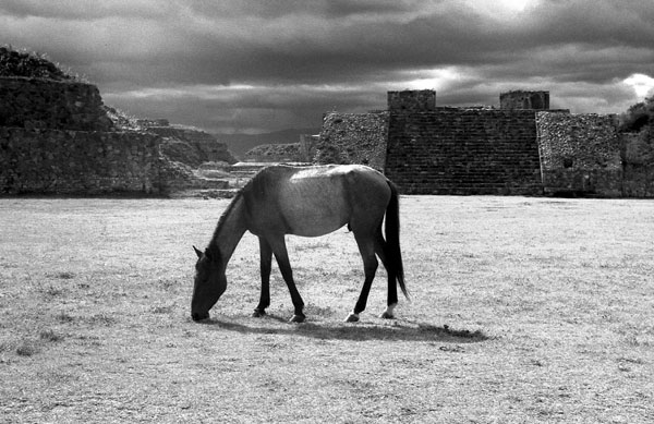 horse in the main plaza, Monte Alban, 19766